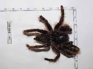 (Brachypelma albopilosum - INB0004328397)  @13 [ ] Copyright (2012) C. Viquez Instituto Nacional de Biodiversidad