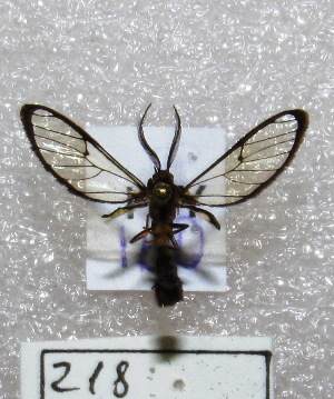 "(Diptilon - MACN-Bar-Lep-ct 00218)  @14 [ ] Copyright (2013) MACN Museo Argentino de Ciencias Naturales ""Bernardino Rivadavia"""
