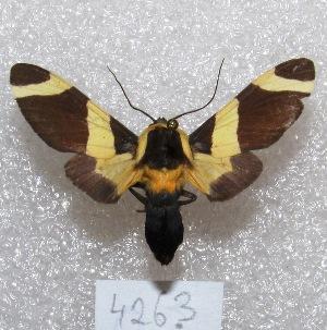 "(Viviennea - MACN-Bar-Lep-ct 04263)  @15 [ ] Copyright (2013) MACN Museo Argentino de Ciencias Naturales ""Bernardino Rivadavia"""
