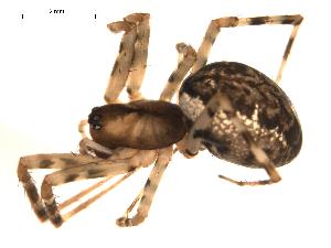 (Neriene montana - 09ONTGAB-126)  @14 [ ] CreativeCommons - Attribution Share-Alike (2009) Gergin Blagoev, Biodiversity Institute of Ontario Unspecified