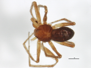 (Philodromus mineri - 09ONTGAB-005)  @13 [ ] CreativeCommons - Attribution Non-Commercial Share-Alike (2009) Unspecified Biodiversity Institute of Ontario