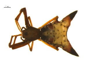 (Micrathena sagittata - BIOUG12603-E06)  @13 [ ] CreativeCommons - Attribution Non-Commercial Share-Alike (2014) G. Blagoev Centre for Biodiversity Genomics