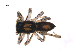 (Maevia - BIOUG12606-C12)  @13 [ ] CreativeCommons – Attribution Non-Commercial Share-Alike (2014) G. Blagoev Biodiversity Institute of Ontario