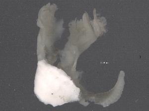 (Pileolariinae - BIOUG09877-A06)  @11 [ ] CreativeCommons - Attribution Non-Commercial Share-Alike (2014) BIO Photography Group Biodiversity Institute of Ontario