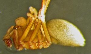 (Thyreosthenius - TRD-ARA134)  @14 [ ] CreativeCommons – Attribution Non-Commercial Share-Alike (2014) Arne Fjellberg Arne Fjellberg Entomological Research