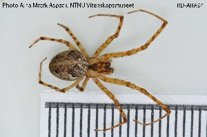 (Tetragnathidae - TRD-ARA94)  @15 [ ] Creative Commons – Attribution Non-Commercial Share-Alike (2014) NTNU University Museum, Department of Natural History NTNU University Museum, Department of Natural History