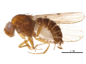 (Drosophila munda - BIOUG02711-E11)  @13 [ ] CreativeCommons - Attribution Non-Commercial Share-Alike (2015) CBG Photography Group Centre for Biodiversity Genomics