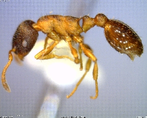 (Leptothorax AF-bor - AF-11514-D02)  @11 [ ] CreativeCommons - Attribution Non-Commercial No Derivatives (2011) Alex Smith University of Guelph