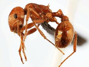 (Pogonomyrmex wheeleri - MAS063-07)  @14 [ ] Unspecified (default): All Rights Reserved  Unspecified Unspecified