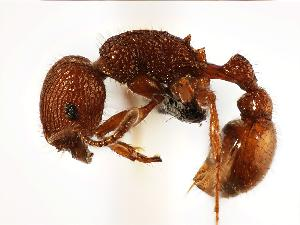 (Pogonomyrmex imberbiculus - MAS067-07)  @14 [ ] Unspecified (default): All Rights Reserved  Unspecified Unspecified