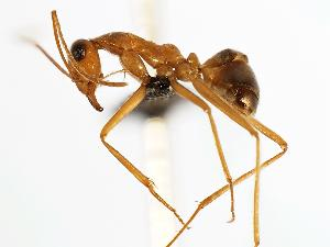 (Myrmecocystus mexicanus - MAS093-07)  @14 [ ] Unspecified (default): All Rights Reserved  Unspecified Unspecified