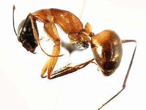 (Camponotus ocreatus - MAS118-07)  @14 [ ] Unspecified (default): All Rights Reserved  Unspecified Unspecified