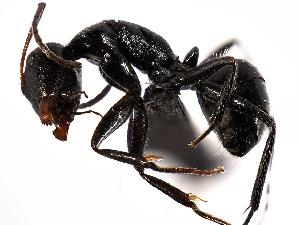 (Camponotus ulcerosus - MAS126-07)  @14 [ ] Unspecified (default): All Rights Reserved  Unspecified Unspecified