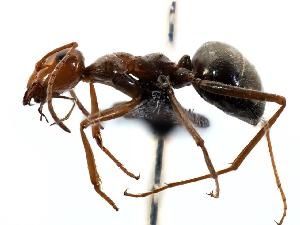 (Myrmecocystus depilis - MAS132-07)  @15 [ ] Unspecified (default): All Rights Reserved  Unspecified Unspecified