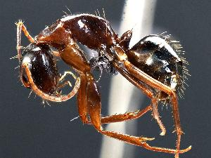 (Camponotus sansabeanus - MAS133-07)  @14 [ ] Unspecified (default): All Rights Reserved  Unspecified Unspecified