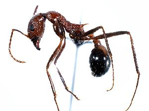 (Aphaenogaster cockerelli - MAS159-07)  @15 [ ] Unspecified (default): All Rights Reserved  Unspecified Unspecified