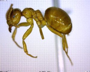 (Lasius minutus - BIOUG02018-A01)  @13 [ ] CreativeCommons - Attribution Non-Commercial Share-Alike (2011) M. Alex Smith Biodiversity Institute of Ontario