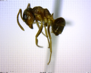 (Lasius sp. 01 - BIOUG02018-A04)  @13 [ ] CreativeCommons - Attribution Non-Commercial Share-Alike (2011) M. Alex Smith Biodiversity Institute of Ontario