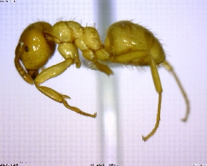 (Lasius sp. 03 - BIOUG02018-B01)  @14 [ ] CreativeCommons - Attribution Non-Commercial Share-Alike (2011) M. Alex Smith Biodiversity Institute of Ontario
