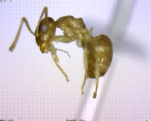 (Lasius sp. 04 - BIOUG02018-B02)  @14 [ ] CreativeCommons - Attribution Non-Commercial Share-Alike (2011) M. Alex Smith Biodiversity Institute of Ontario