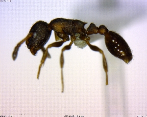 (Leptothorax sp. 01 - BIOUG02018-B05)  @11 [ ] CreativeCommons - Attribution Non-Commercial Share-Alike (2011) M. Alex Smith Biodiversity Institute of Ontario