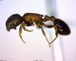(Temnothorax sp. 01 - BIOUG02018-F05)  @11 [ ] CreativeCommons - Attribution Non-Commercial Share-Alike (2011) M. Alex Smith Biodiversity Institute of Ontario
