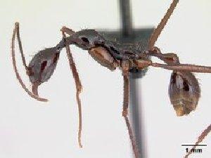 (Aphaenogaster acuta - CASENT0073384-D01)  @13 [ ] Unspecified (default): All Rights Reserved  Unspecified Unspecified
