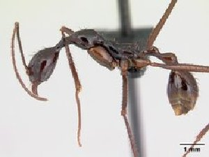 (Aphaenogaster suberecta - CASENT0048942-D01)  @13 [ ] Unspecified (default): All Rights Reserved  Unspecified Unspecified