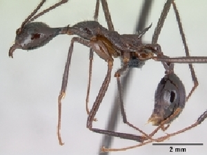 (Aphaenogaster gonacantha - CASENT0107567-D03)  @13 [ ] Unspecified (default): All Rights Reserved  Unspecified Unspecified