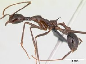 (Aphaenogaster MG04 - CASENT0067122-D01)  @13 [ ] Unspecified (default): All Rights Reserved  Unspecified Unspecified