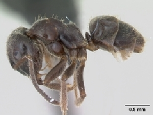 (Lasius platythorax - CASENT0172747-D01)  @13 [ ] CreativeCommons - Attribution Non-Commercial No Derivatives (2011) Alex Smith University of Guelph