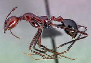 (Aphaenogaster swammerdami - CASENT0122105-D01)  @13 [ ] Unspecified (default): All Rights Reserved  Unspecified Unspecified