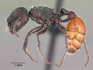 (Pogonomyrmex pronotalis - CASENT0191300-D01)  @13 [ ] CreativeCommons - Attribution Non-Commercial No Derivatives (2011) Alex Smith University of Guelph