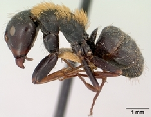 (Camponotus ursus - CASENT0096376-D01)  @13 [ ] Unspecified (default): All Rights Reserved  Unspecified Unspecified