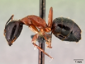 (Camponotus hagensii - CASENT0191573-D01)  @13 [ ] Unspecified (default): All Rights Reserved  Unspecified Unspecified