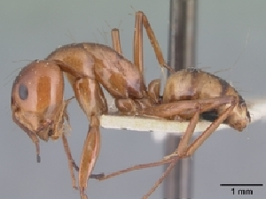 (Camponotus christi - CASENT0495231-D01)  @13 [ ] Unspecified (default): All Rights Reserved  Unspecified Unspecified