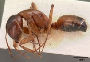(Camponotus christi ferrugineus - CASENT0418214-D01)  @13 [ ] Unspecified (default): All Rights Reserved  Unspecified Unspecified