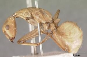(Camponotus gerberti - CASENT0451554-D01)  @13 [ ] Unspecified (default): All Rights Reserved  Unspecified Unspecified