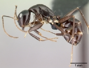 (Camponotus MG023 - CASENT0495523-D01)  @13 [ ] CreativeCommons - Attribution Non-Commercial No Derivatives (2011) Alex Smith University of Guelph