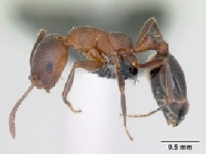 (Monomorium subopacum - CASENT0122968-D01)  @13 [ ] Unspecified (default): All Rights Reserved  Unspecified Unspecified