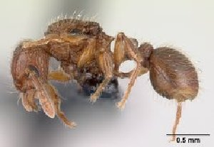 (Tetramorium comorense - CASENT0146910-D01)  @13 [ ] Unspecified (default): All Rights Reserved  Unspecified Unspecified