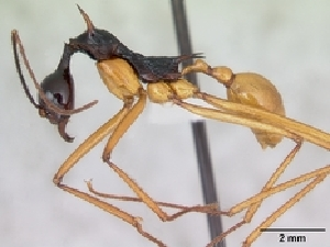 (Aphaenogaster indet - CASENT0002607-D01)  @13 [ ] Unspecified (default): All Rights Reserved  Unspecified Unspecified