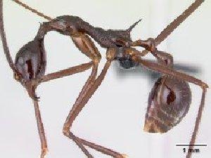(Aphaenogaster sahafina - CASENT0012695-D02)  @13 [ ] Unspecified (default): All Rights Reserved  Unspecified Unspecified