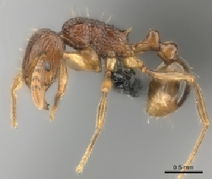 (Tetramorium pseudogladius - CASENT0153605-D01)  @13 [ ] CreativeCommons - Attribution Non-Commercial No Derivatives (2011) Alex Smith University of Guelph