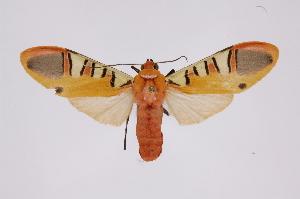 (Gorgonidia - INB0003301134)  @15 [ ] Copyright (2012) B. Espinoza Instituto Nacional de Biodiversidad
