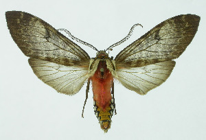(Amastus - INB0003968405)  @15 [ ] Copyright (2010) A. Solis Instituto Nacional de Biodiversidad