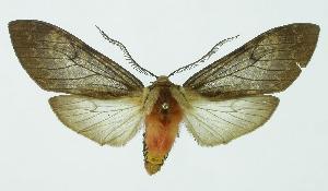 (Amastus - INB0004074156)  @15 [ ] Copyright (2010) A. Solis Instituto Nacional de Biodiversidad