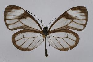 (Pseudoscada - INB0003435559)  @14 [ ] CreativeCommons - Attribution Non-Commercial Share-Alike (2012) National Biodiversity Institute of Costa Rica National Biodiversity Institute of Costa Rica
