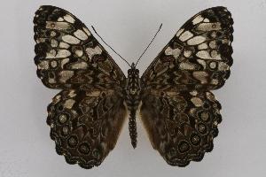 (Hamadryas guatemalena guatemalena - INB0003892665)  @15 [ ] CreativeCommons - Attribution Non-Commercial Share-Alike (2012) National Biodiversity Institute of Costa Rica National Biodiversity Institute of Costa Rica