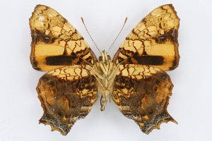(Hypanartia - INB0004111934)  @15 [ ] CreativeCommons - Attribution Non-Commercial Share-Alike (2012) National Biodiversity Institute of Costa Rica National Biodiversity Institute of Costa Rica